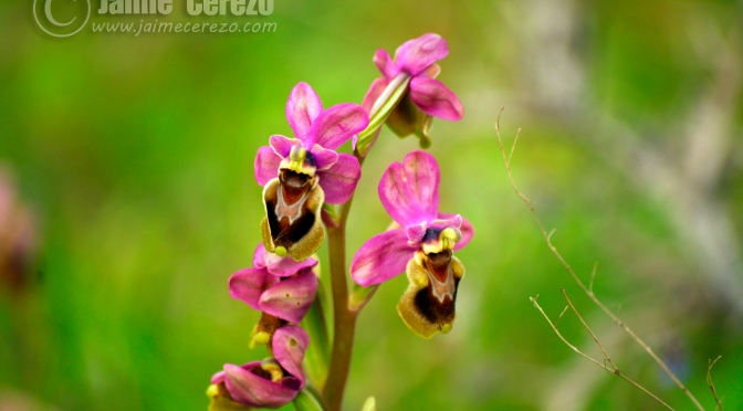 Orquídeas, un toque de color en el Geoparque Villuercas Ibores Jara.