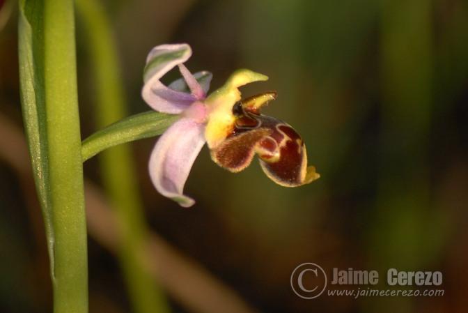 En busca de orquídeas por el calerizo de Cáceres.