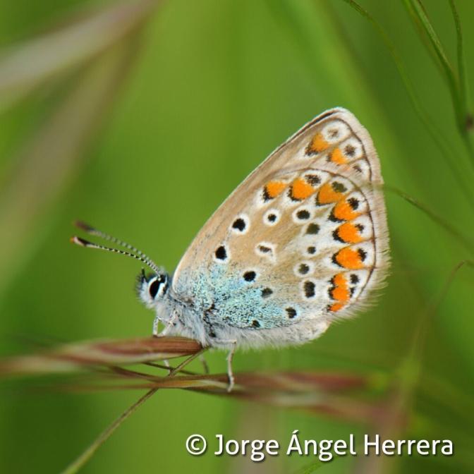 Guía de mariposas del Geoparque Villuercas Ibores Jara