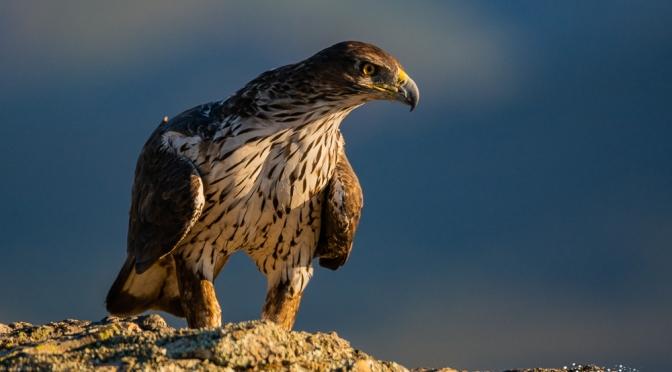 El águila perdicera